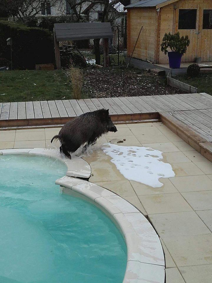 Un sanglier dans une piscine for Bar dans une piscine