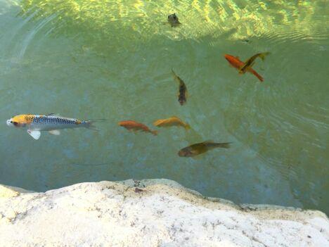 Bassin à poissons filtration UV