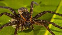 Brian, l'araignée qui chasse en nageant