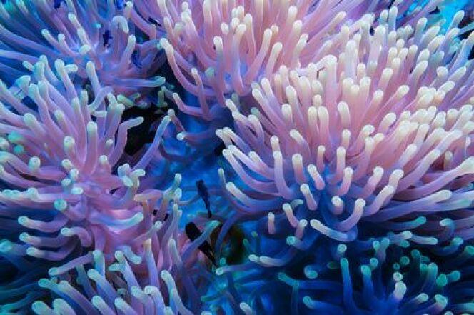 Comment réagir en cas de piqûre d'anémone de mer ?