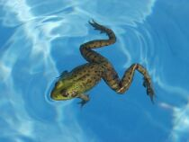Des grenouilles dans votre piscine : comment les faire fuir ?