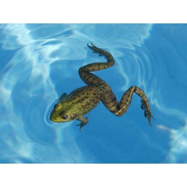 des grenouilles dans votre piscine comment les faire fuir. Black Bedroom Furniture Sets. Home Design Ideas