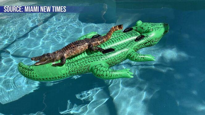 Il croise un alligator dans sa piscine