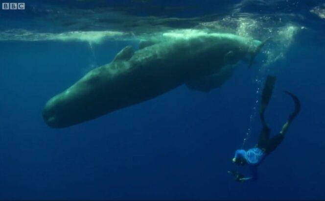 """Il nage avec un cachalot et son petit<span class=""""normal italic petit"""">© BBC</span>"""