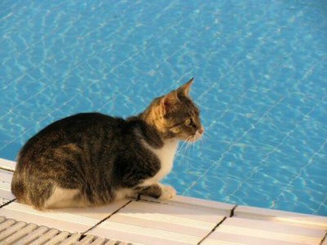 Le chat et la piscine