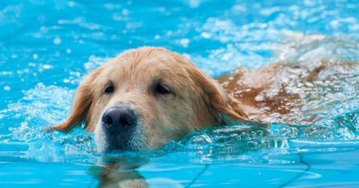 Le chien et la piscine for Piscine pour chien