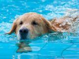 Le chien et la piscine