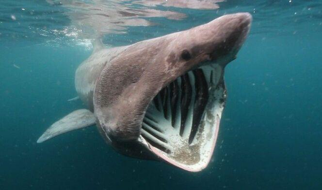 """Le requin pèlerin<span class=""""normal italic petit"""">© Soutien 67</span>"""