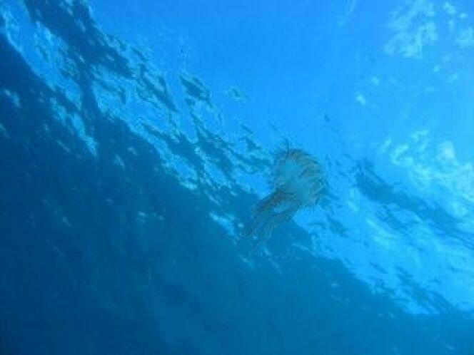 """Piqûre de méduse : que faire ?<span class=""""normal italic petit"""">© Fotolia</span>"""