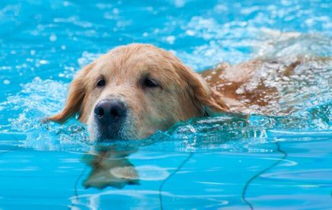 """La piscine permet à votre chien de se rafraîchir quand il fait trop chaud pour lui.<span class=""""normal italic petit"""">© remixon - Fotolia.com</span>"""