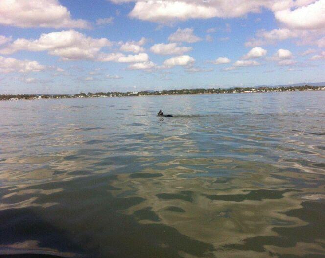 """Un cheval s'essaie à la nage en eau libre<span class=""""normal italic petit"""">© VMR Brisbane Inc</span>"""