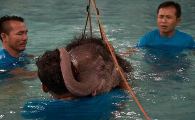 Un éléphanteau réapprend à marcher dans une piscine