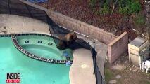 Insolite : un chien chasse un ours de la piscine