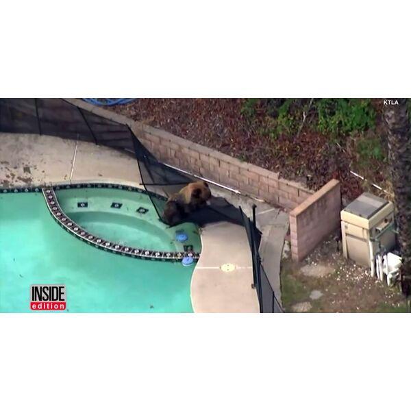 Insolite un chien chasse un ours de la piscine for Bar dans une piscine