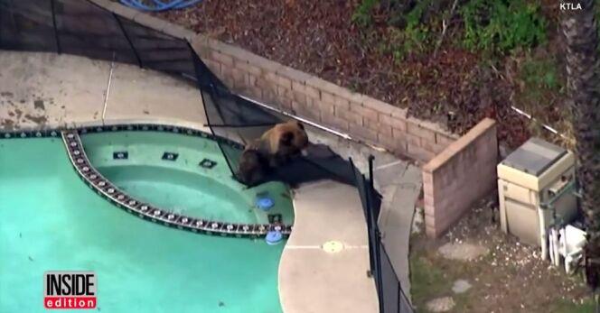 Un ours se prélasse dans une piscine, il en sera vite chassé par le chien de la maison