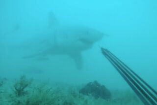 [VIDEO] - Quand un plongeur croise un grand requin blanc !