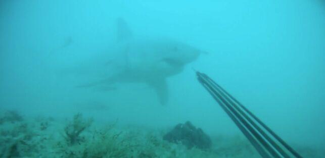 Un plongeur tombe nez à nez avec un grand requin blanc.