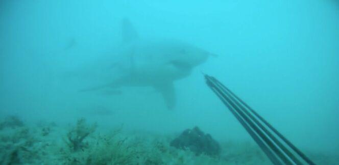 """Un plongeur tombe nez à nez avec un grand requin blanc.<span class=""""normal italic petit"""">DR</span>"""