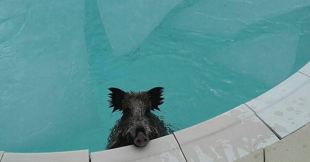 Un sanglier dans une piscine for Apprendre a plonger dans une piscine