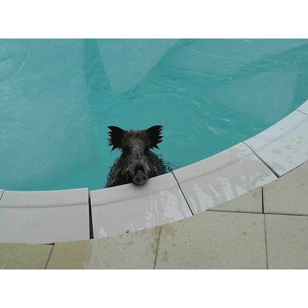 Un sanglier dans une piscine for Piscine edouard pailleron