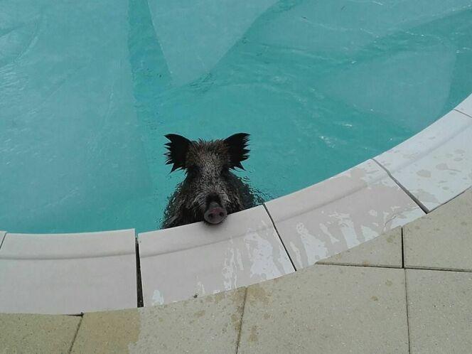 Un sanglier dans une piscine !